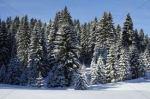 pinetreeforest
