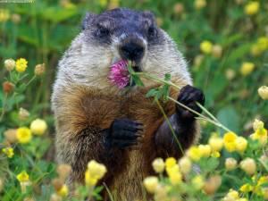 Groundhog-Spring