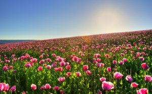 Pink-Tulips-Flowers-5